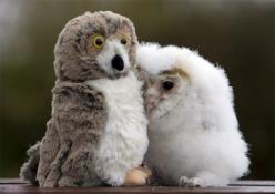 In his five short weeks of life, Orbit hasn't met many other owls. So he isn't at all worried that his new best friend doesn't hoot back. He's perfectly happy in the company of his stuffed companion. Orbit, a common barn owl, was given the toy by Lynd