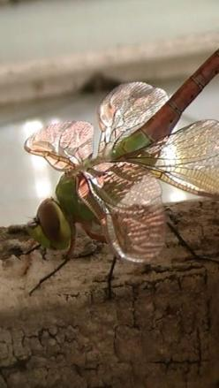 In Sweden, folklore suggests that dragonflies come around to check for bad souls - to weigh souls to be more 'accurate'.: Butterflies Dragonflies Moths, Dragonflies Butterflies, Dragonfly S, 68I Can T, Nature S, Real Dragonfly 6 6 2012