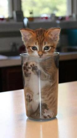 In The Glass - Click for More...: Cats, Fit, Animals, Cups, Glasses, Pet, Kitty Kitty, Kittens