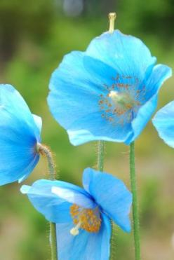 incredible color... Meconopsis / Blue poppy  SUBFAMILY PAPAVEROIDEAE the true poppy. Meconopsis has 43 species some of other colors all but one are native to Himalayas and west china: Blue Poppies, True Poppy, Poppy Subfamily, Subfamily Papaveroideae, Blu