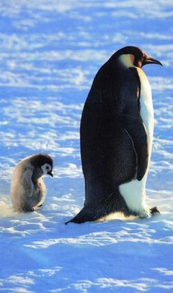 Incredible penguins...this is so sweet! Love the photography that enables us to see this! <pin by **KAYT** on Polar Bears & Penguins>: Animals, I M, Penguins Penguin, Adorable, Baby Penguins, Birds, Penguins 3