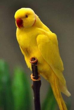Indian Ringneck Parrot in Yellow: Animals, Parrots, Color, Lutino Indian, Beautiful Birds, Indian Ringneck