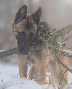 Ingo the Shepherd dog and Poldi the owl by Tanja Brandt, so awesome!: Owl Commiserating, Dog And Owl, Owls Germanshepherds, Animals Owls, Baglyok Owls, Pet Owls, German Shepherd, Dogs Owls, Beautiful Owls