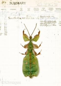 insect: Leaf Bug, 5X7 Leaf, Bugs, Botanical Prints, Beautiful Insects, Art, Leaves