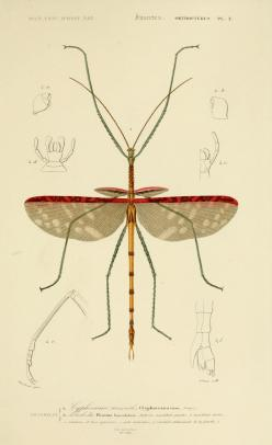 insect: Scientific Illustration, Biological Illustrations, Natural History, Art Bug, Nature Illustrations, Fauna Illustration, Walking Sticks