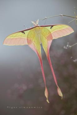 insectlove:  jadeneternal: Such a beautiful moth! I believe this is an Arcteus sp. Can anyone ID the species?: Butterfly, Igor Siwanowicz, Luna Moth, Moon Moth, Insects, Animal