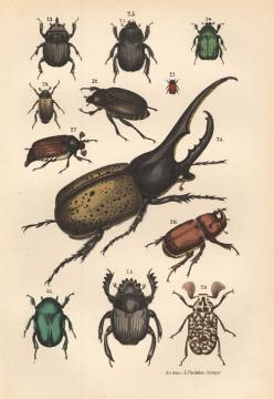 Insects are so intriguing and numerous. So much to learn about them and from them.: Bugs Illustration, Drawings, 1875 Beetles, Bug Drawing, Bugsbeetles Butterflies, Beetles Illustration, Bug Illustration