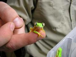 Into exotic pets? Here is one for you that is no bigger than a finger...: Baby Frogs, Guy, Froggy, Baby Animals, Things, Pet Frogs, Eye