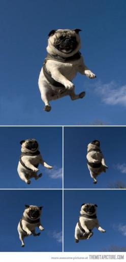 Invisible Motocross Stunt: Animals, Dogs, Pugs Fly, Pet, Jumping Pug, Funny, Trampoline, Flying Pugs