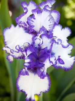 Iris-best in smell -Bearded irises grace spring garden with color and perfume. Available in almost every color of the rainbow, irises also have a range of fragrances, from anise to floral to fruity: Iris Flower, Color, Purple Orchid, Irises, Beautiful Flo