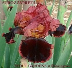 Iris STROZZAPRETI | Stout Gardens at Dancingtree: Irises, Iris Tall, Iris Strozzapreti, Products