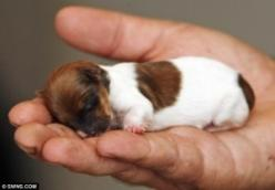 Is this the hand of a giant or is it really possible a puppy can be this small? Precious: Jack Russell, Animals, Dogs, Pet, Puppys, Jack O'Connell, Baby, Chihuahua, Jackrussell