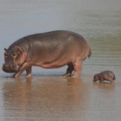 It's insane how cute baby hippos are: Tiny, Babies, Babyhippos, Hippopotamus, Baby Hippo So, Cute Hippos, Baby Animals, Cute Baby Hippos