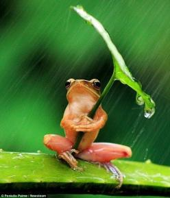 It's raining cats and frogs.  [previous pinner's clever caption]: Animals, Umbrellas, Leave, Nature, Frogs, Photo, Rain