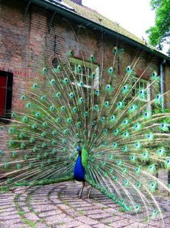 It's so amazing how big they are when they spread out their feathers. :): Peacock Feathers, Peacocks, Animals, Pretty Peacock, Beautiful Birds, Beautiful Peacock