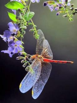 It's the little things..... : Photo: Dragonflies Damselflies, Butterfly, Dragonflies Butterflies, A Dragonflies, All Things Dragonflies, Dragonflies Moths, Butterflies Dragonflies Bugs, Dragonflies Damselfly, Dragofly