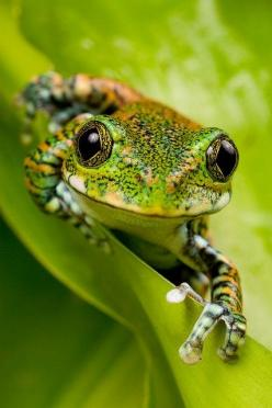 It IS easy being green :): Eyed Frog, Animals, Nature, Diamond Eyed, Frogs