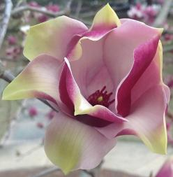 Japanese magnolia flower by readerwalker: Magnolias, Flora, Flower Power, Japanesemagnolia, Beautiful Flowers, Bloom, Photo