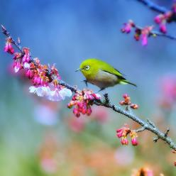 Japanese White Eye. How beautiful is this photo? the colour and composition is superb!: Japanese White Eye, Animals, Nature, Poultry, White Eyes, Beautiful Birds, Photo