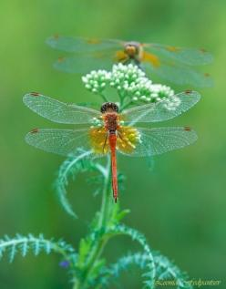 Jewels amongst Green: Butterflies Dragonflies, Butterfly, Dragon Flies, Nature, Dragonfly S, Animal