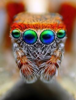 Jumping spider. Photo: Tomas Rak. Macro Photography. I do NOT want to own this animal..but this is simply amazing.: Animals, Tomas Rak, Spiders, Macro Photography, Jumping Spider, Close Up, Eye