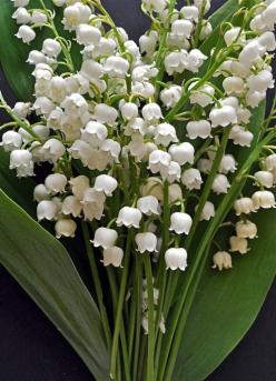 Just beautiful. Lily of the Vally.: Favorite Flowers, Lily, Lilies, Wedding, Beautiful Flowers, Valley, Garden, Flower