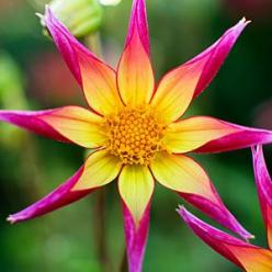 'Juul's Allstar' The 2½-foot-tall bush covers itself in orchid-flowering blooms that are fuchsia with a bright yellow center: Orchid Flowering Blooms, Juuls Allstar, Juul S Allstar, Dahlias, Pretty Flowers, Beautiful Flowers, Garden, Bright Yellow