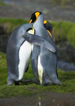 King penguins hugging in courtship in South Georgia Picture: Nature Picture Library / Rex Features: King Penguins, Penguin Love, Penguins Hugging, Animals, Penguin Hugs, Nature, Creature, Birds, Friend