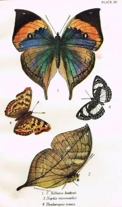 "Kirby Butterflies - ""KILLIMA HUTTONI - PLATE XX"" - Chromolithograph - 1896: Tattoo, Products"