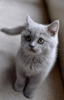 kitten british shorthair: Kitty Cats, Gray Kitten, Animals, Grey Kitten, Kitty Kitty, Kittens, British Shorthair, Grey Cats