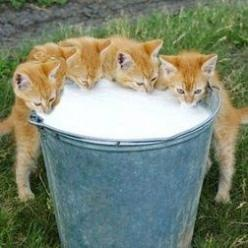 Kittens! This is just too adorable! Bet their chins are all covered with milk when they are done :-): Fresh Milk, Kitty Cats, Animals, Farm Life, Kitty Kitty, Kittens Drinking, Country Life, Cat Lady
