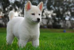 Korea's 53rd National Treasure Is a Gorgeous Dog You've Never Heard Of: Dog Jindo Dog, Puppies Dogs, Animals ️, Jindo Dog Korean, Puppys, Jindo Dogs, Jindo Gae