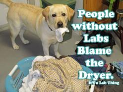 LABS Galore | Its a Lab Thing - @Melanie Bauer Bauer Bauer Massey this reminds me of little miss Lola... Zoey is pretty bad about it too though: Sock, Labs, Animals, Dogs, Funny, Labrador, Friend