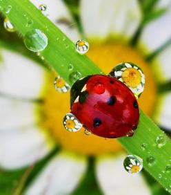 lady bug and dew drops by tugba kiper.  Love the droplets how they make the flower look so small: Animals, Insects Ladybugs, Dewdrops, Ladybird, Ladybug, Lady Bugs