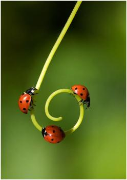 lady bugs: Animals, Nature, Beautiful, Ladybugs, Ladybird, Lady Bugs, Photo, Garden