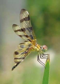 Lady Halloween | Flickr - Photo Sharing!: Dragon Flies, Creatures, Dragonfly, Photo, Dragonflies, Animal