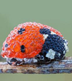 Ladybug In Morning Dew // funny pictures - funny photos - funny images - funny pics - funny quotes - #lol #humor #funnypictures: Animals, Nature, Ladybugs, Morning Dew, Photo, Mornings