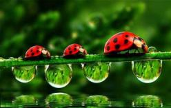 ladybugs and droplets, marching in row !IEC: Animals, Nature, Beautiful, Ladybugs, Ladybird, Lady Bugs, Photography