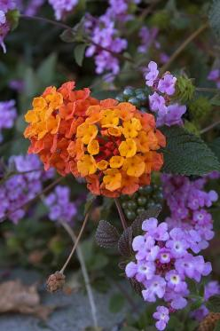 Lantana makes a great combo with...itself! There are so many colors to choose from. If you're looking for something more subtle, try bandana white with the purple.: Fall Flowers, Color Combos, Purple Flowers, Purple Lantana, Beautiful Flowers, Garden,