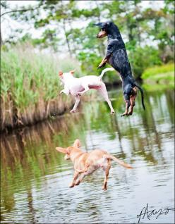 "Launch! These dogs have a handle on this summer, gives new meaning to ""the dog days of summer""!   # Pin++ for Pinterest #: Animals, Cat, Friends, Dogs, Pets, Things, Chihuahua, Photo"
