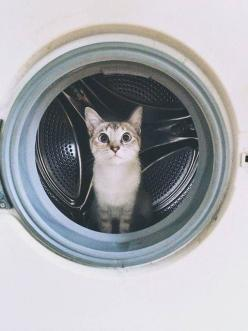 laundry kitty.: Cats, Kitty Cats, Animals, Meow, Cute Cats, Pet, Adorable, Washing Machines, Silly Cat