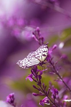 lavender butterfly on purple flower: Beautiful Butterflies, Nature, Purple Butterfly, Purple Passion, Color Purple, Purple Flower, Animal