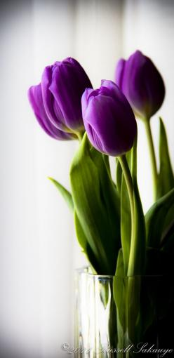Learn to make tulips last year round! Super easy. I love it!: Beautiful Flower, Color, Purple Tulips, Flowers, Tulip Flower, Garden, Flower, Purple Flower, Favorite Flower