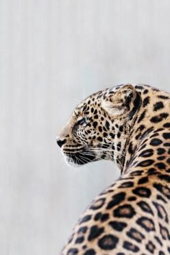 Leopard  #fauna #animals: Jaguar, Big Cats, Animals, Nature, Bigcats, Creatures, Leopards, Wild Cats