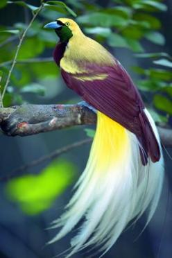 Lesser Bird of Paradise in northern New Guinea: Lesser Bird, Animals, Color, Bird Of Paradise, Beautiful Birds, Beautifulbirds, Ave
