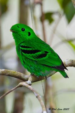 "LESSER GREEN BROADBILL (Calyptomena caudacuta) ©Phil Liew - 996sps  By Request for ""habitat of the green broadbill"" (there's also an African Green Broadbill in case this is the wrong bird :)  14 - 17cm. A plump, green bird with a short bill and a short ta"