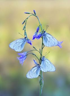 Life is short, fragile and does not wait for anyone. There will NEVER be a perfect time to pursue your dreams & goals.: Beautiful Butterflies, Blue Butterflies, Animals, Nature, Blue Butterfly, Flutterby, Flowers, Photo, Mauro Maione