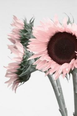Light pink sunflower heads. Image via: imgfave.com: Pink Flowers, Color, Sunflower 3, Art, Beautiful Flowers, Flower Power, Garden, Floral, Pink Sunflowers