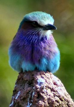 Lilac Fronted Roller: Rollers, Fronted Roller, Lilac Fronted, Beautiful Birds, Animal