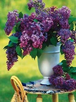 Lilacs. My favorite! Until I see a peony that is. But then there's roses, oh and hydrangeas!: Beautiful, Purple Lilac, Flowers, Garden, Floral, Lilacs, Favorite Flower